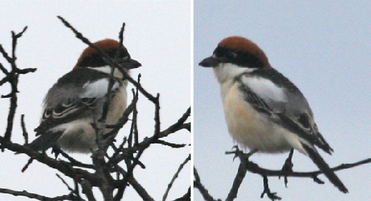 Woodchat shrike migratory birds